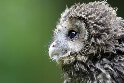 Ural Owl, Strix Uralensis, Young Animal-Ronald Wittek-Photographic Print