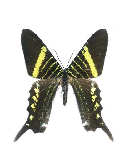Urania Swallowtail Moth-Lawrence Lawry-Photographic Print