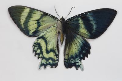 Uraniid Moth, Alcides Orontes Comparing the Top and Bottom of its Wing-Darrell Gulin-Photographic Print