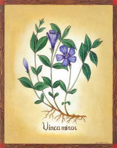Vinca Minor by Urpina