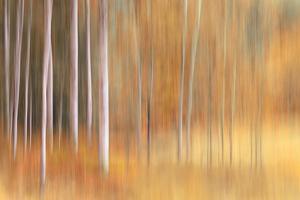 Autumn Birches by Ursula Abresch
