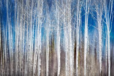 Birches in Spring by Ursula Abresch