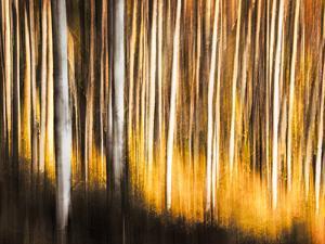 Birches by Ursula Abresch
