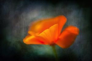 California Poppy 2 by Ursula Abresch
