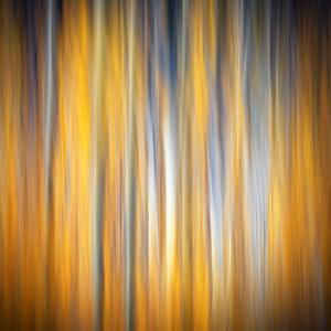 Fall Birches by Ursula Abresch