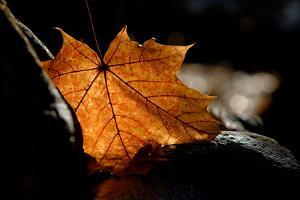 Fall Leaf by Ursula Abresch