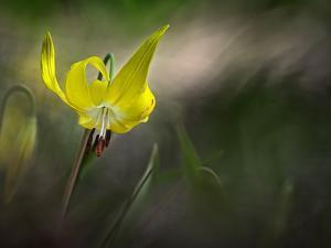 Lilies 2 by Ursula Abresch