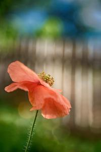 Poppy By the Fence by Ursula Abresch