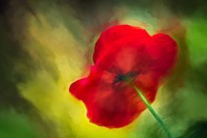 Poppy by Ursula Abresch