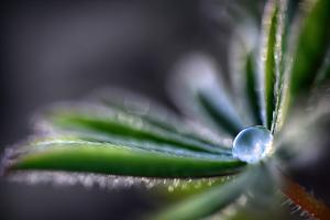 Rain Drop on a Lupine Leaf by Ursula Abresch