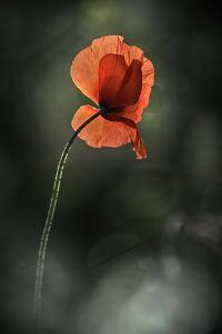 Red Poppy by Ursula Abresch