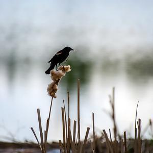 Red Wing Blackbird 3 by Ursula Abresch