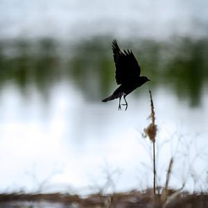 Red Wing Blackbird 4 by Ursula Abresch