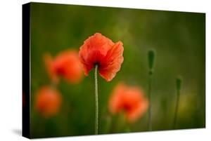 Roadside Poppies by Ursula Abresch