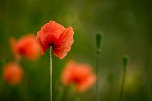 Roadside Poppies by Ursula Abresch