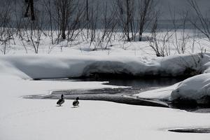 Two Ducks by Ursula Abresch