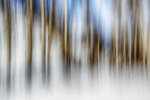 Winter Birches by Ursula Abresch