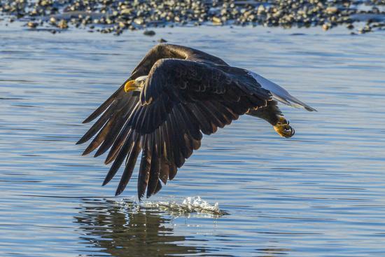 USA, Alaska, Chilkat Bald Eagle Preserve, bald eagle flying-Jaynes Gallery-Premium Photographic Print
