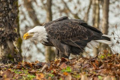 USA, Alaska, Chilkat Bald Eagle Preserve. Bald Eagle on Ground-Cathy & Gordon Illg-Photographic Print