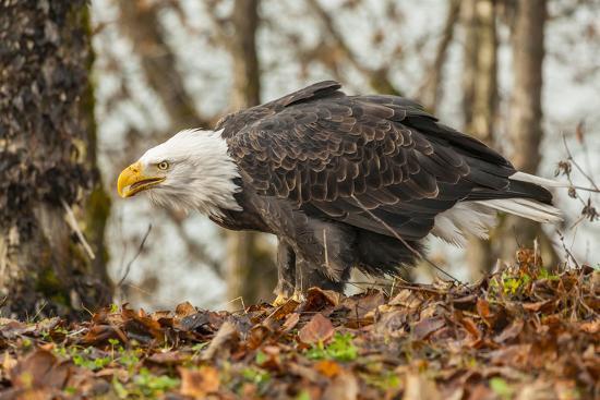 USA, Alaska, Chilkat Bald Eagle Preserve. Bald Eagle on Ground-Cathy & Gordon Illg-Photographic Print