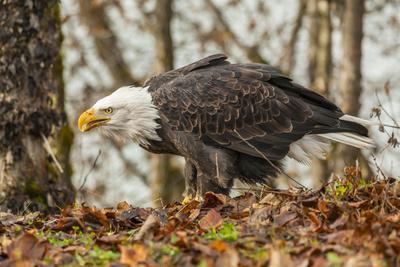 https://imgc.artprintimages.com/img/print/usa-alaska-chilkat-bald-eagle-preserve-bald-eagle-on-ground_u-l-pypef30.jpg?p=0