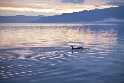 USA, Alaska, Inside Passage, Orcas Cruising-John Ford-Photographic Print