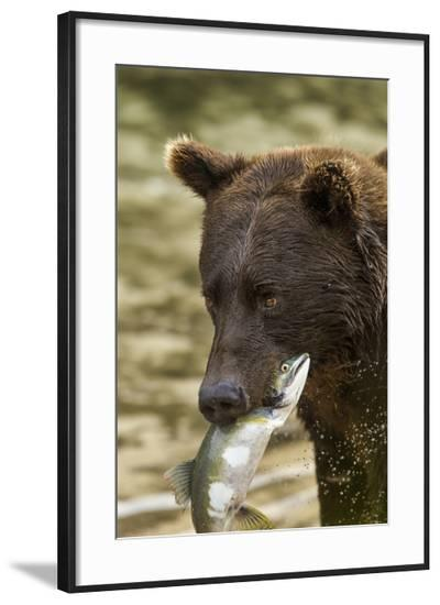 USA, Alaska, Katmai NP, Coastal Brown Bear eating salmon.-Paul Souders-Framed Photographic Print