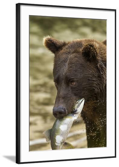 USA, Alaska, Katmai NP, Coastal Brown Bear eating salmon.-Paul Souders-Framed Photographic Print