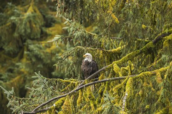 USA, Alaska, Tongass National Forest. Bald eagle in tree.-Jaynes Gallery-Premium Photographic Print