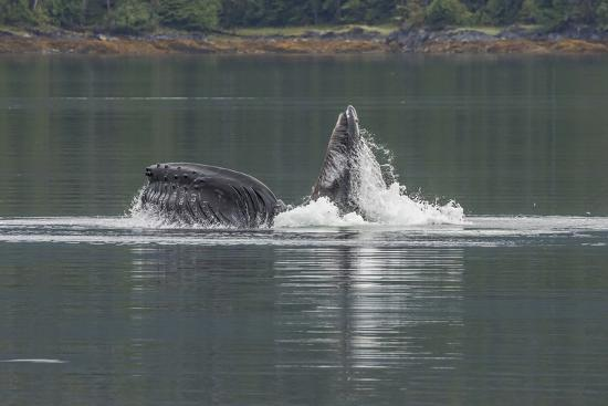 USA, Alaska, Tongass National Forest. Humpback whale lunge feeds.-Jaynes Gallery-Premium Photographic Print