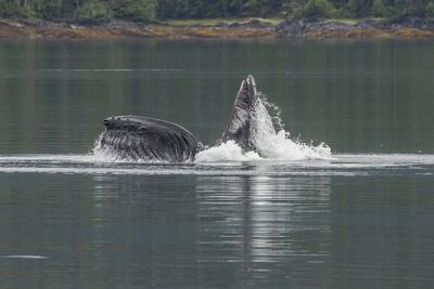 https://imgc.artprintimages.com/img/print/usa-alaska-tongass-national-forest-humpback-whale-lunge-feeds_u-l-q1czuw00.jpg?p=0