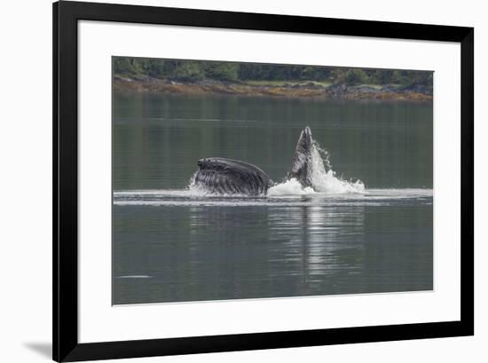 USA, Alaska, Tongass National Forest. Humpback whale lunge feeds.-Jaynes Gallery-Framed Premium Photographic Print