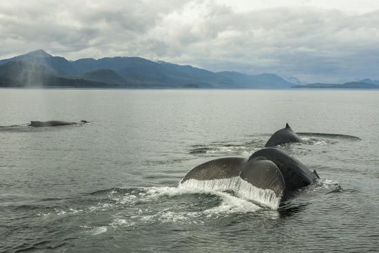 USA, Alaska, Tongass National Forest. Humpback whales surfacing & diving.-Jaynes Gallery-Premium Photographic Print