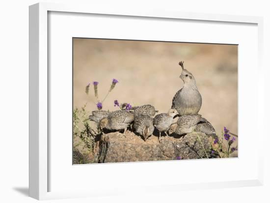 USA, Arizona, Amado. Female Gambel's Quail with Chicks-Wendy Kaveney-Framed Photographic Print