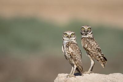 USA, Arizona, Buckeye. a Pair of Burrowing Owls-Wendy Kaveney-Photographic Print