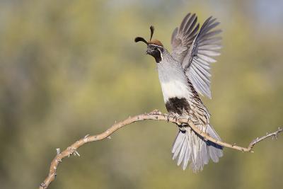 USA, Arizona, Buckeye. Female Gambel's Quail Raises Wings on Branch-Wendy Kaveney-Photographic Print