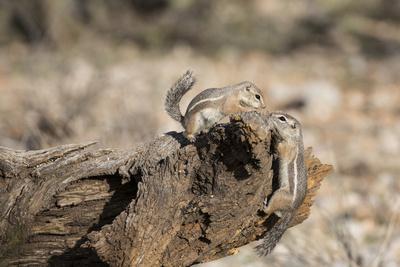 https://imgc.artprintimages.com/img/print/usa-arizona-buckeye-two-harris-s-antelope-squirrels-on-log_u-l-pyr2yp0.jpg?p=0