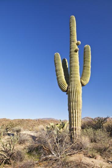 Usa, Arizona, Phoenix, Saguaro Cactus on Desert-Bryan Mullennix-Photographic Print