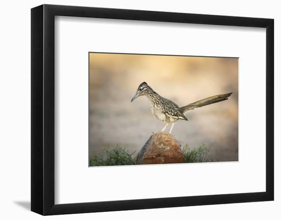 USA, Arizona, Santa Rita Mountains. a Greater Roadrunner on Rock-Wendy Kaveney-Framed Photographic Print
