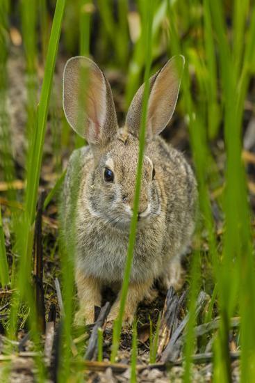 USA, Arizona, Sonoran Desert. Desert Cottontail Rabbit in Grass-Cathy & Gordon Illg-Photographic Print