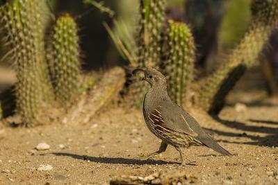 USA, Arizona, Sonoran Desert. Gambel's Quail and Cactus-Cathy & Gordon Illg-Photographic Print
