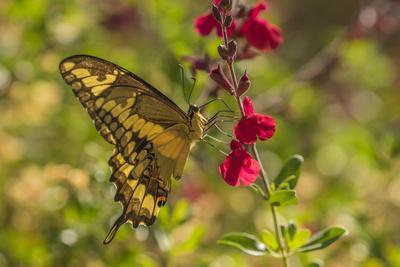 https://imgc.artprintimages.com/img/print/usa-arizona-sonoran-desert-swallow-tailed-butterfly-on-penstemon-flower_u-l-q1czyl70.jpg?p=0