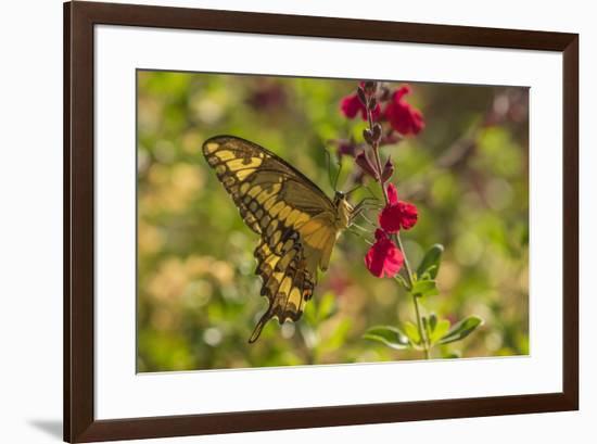 USA, Arizona, Sonoran Desert. Swallow-tailed butterfly on Penstemon flower.-Jaynes Gallery-Framed Premium Photographic Print