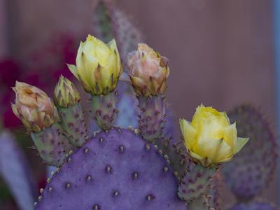 https://imgc.artprintimages.com/img/print/usa-arizona-tucson-yellow-and-pink-flowers-on-purple-prickly-pear-cactus_u-l-q1gxlze0.jpg?p=0