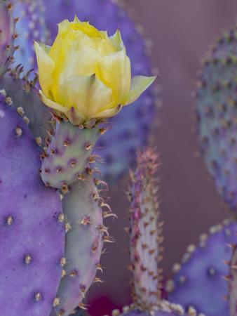 https://imgc.artprintimages.com/img/print/usa-arizona-tucson-yellow-flower-on-purple-prickly-pear-cactus_u-l-q1gxl600.jpg?artPerspective=n
