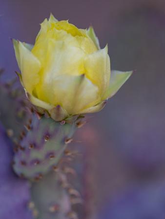 https://imgc.artprintimages.com/img/print/usa-arizona-tucson-yellow-flower-on-purple-prickly-pear-cactus_u-l-q1gxm330.jpg?p=0