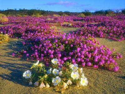 USA, Ca, Anza-Borrego Desert Sp. Sand Verbena and Dune Primrose-Jaynes Gallery-Photographic Print