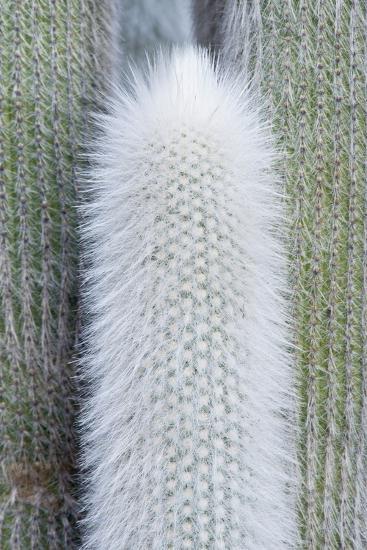 USA, Ca, Pasadena, the Huntington Botanical Garden, Old Man Cactus-Rob Tilley-Photographic Print