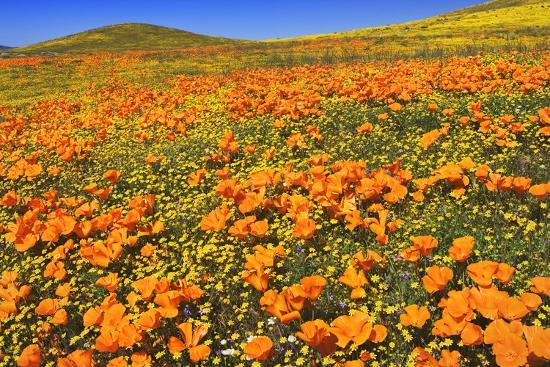 USA, California, Antelope Valley State Poppy Reserve. Poppies and goldfields cover hillsides.-Jaynes Gallery-Photographic Print