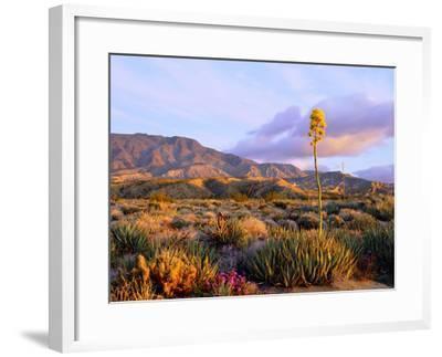 USA, California, Anza-Borrego Desert State Park. Agave Wildflowers-Jaynes Gallery-Framed Photographic Print